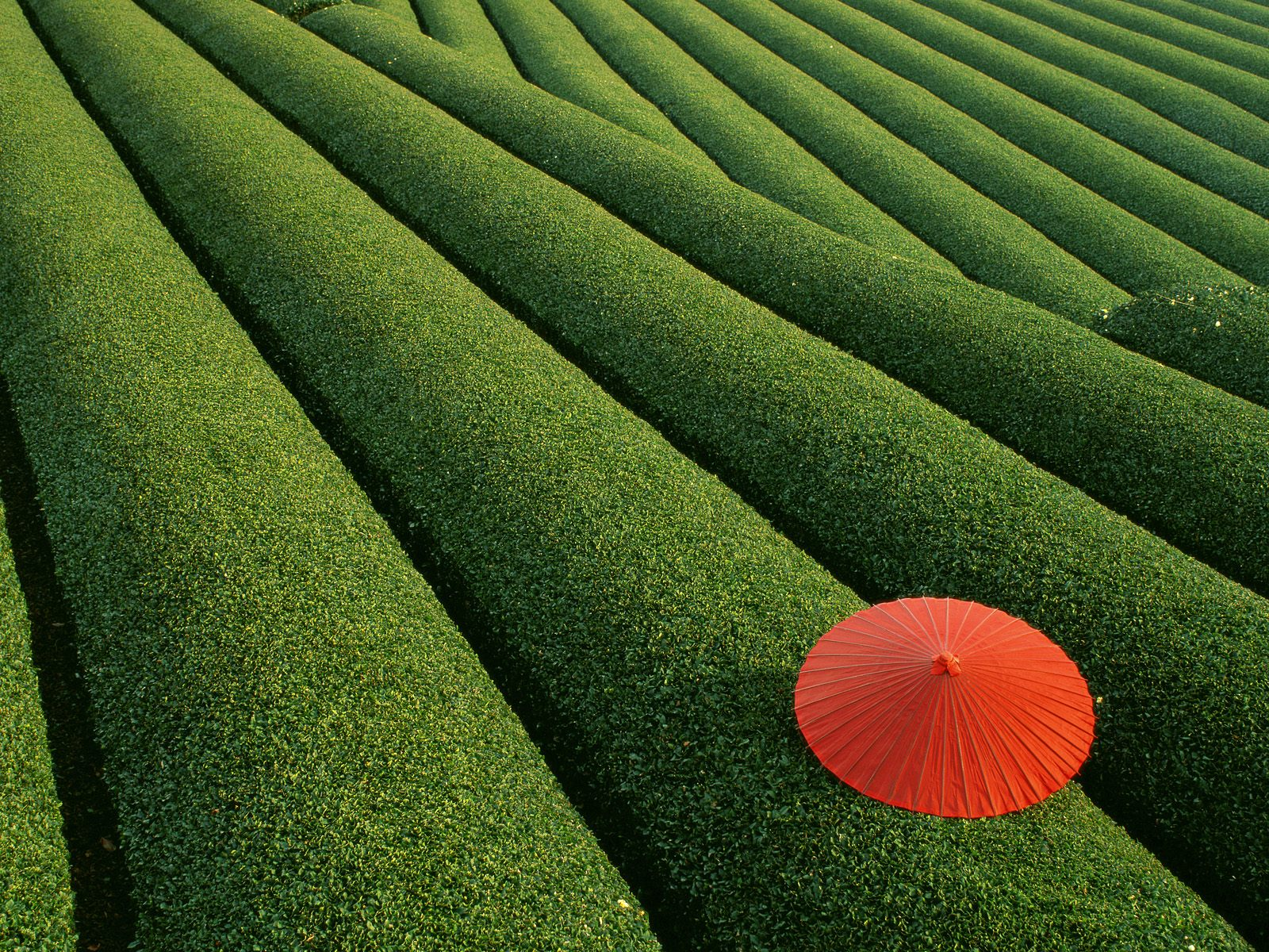 Tea_Fields_Japan.jpg